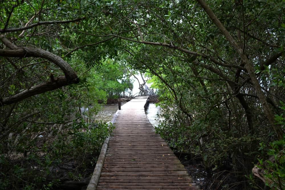 Mangroves in Isla Mucura