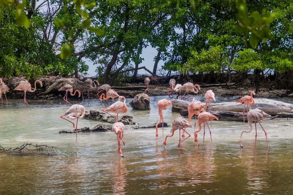 Flamingos in Isla Palma