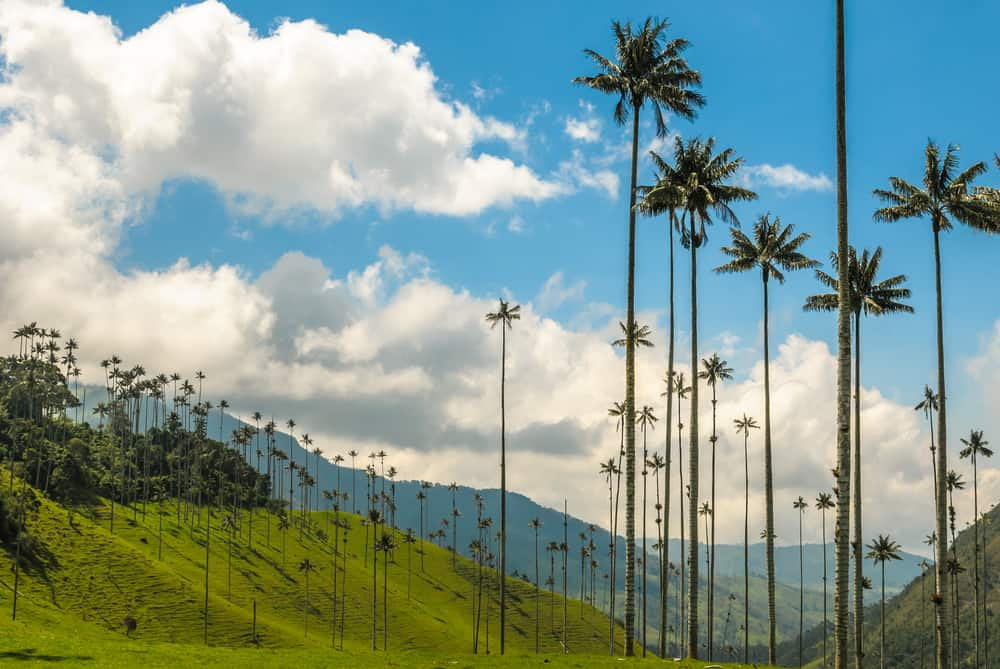 Tallest wax palm trees in the world