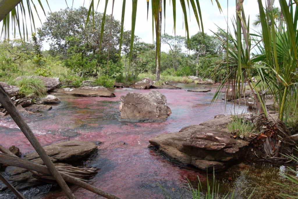 Purple aquatic plants in Caño Sabana San Jose del Guaviare