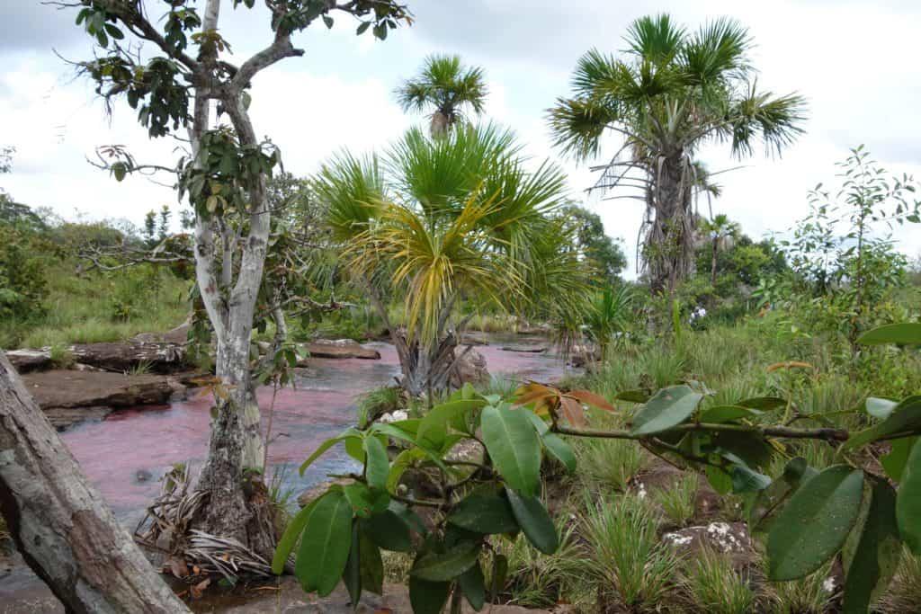 The pink aquatic plants in Caño Sabana