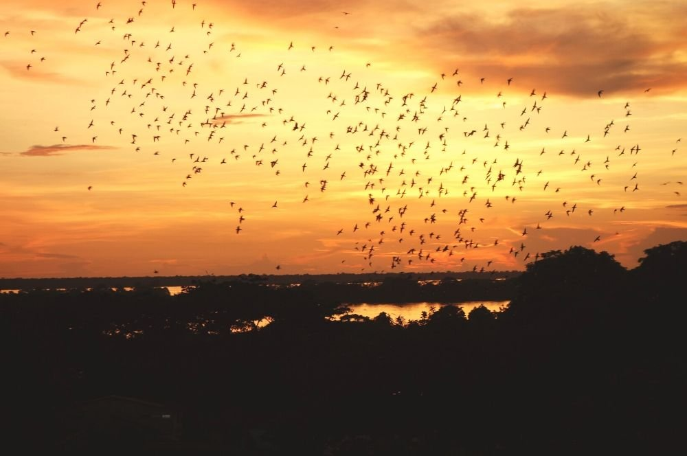 Add the amazon in your Colombia itinerary - Parrots going to bed at sunset - Leticia
