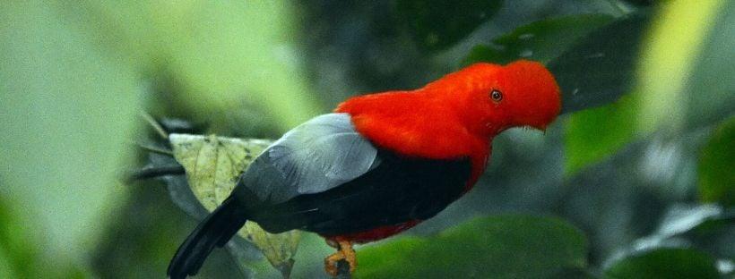 Cock of the rock Bird Jardin