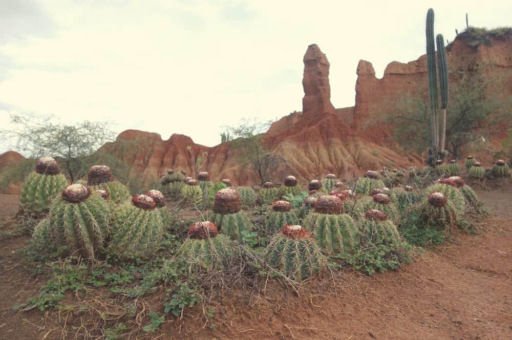 Cactus Tatacoa desert