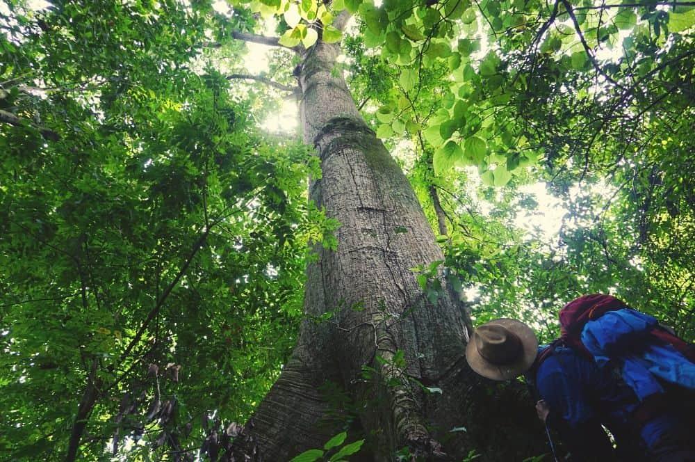 Ceiba tree Paso del Mango