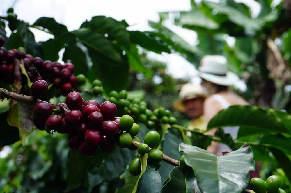 Coffee picking Jerico (1)