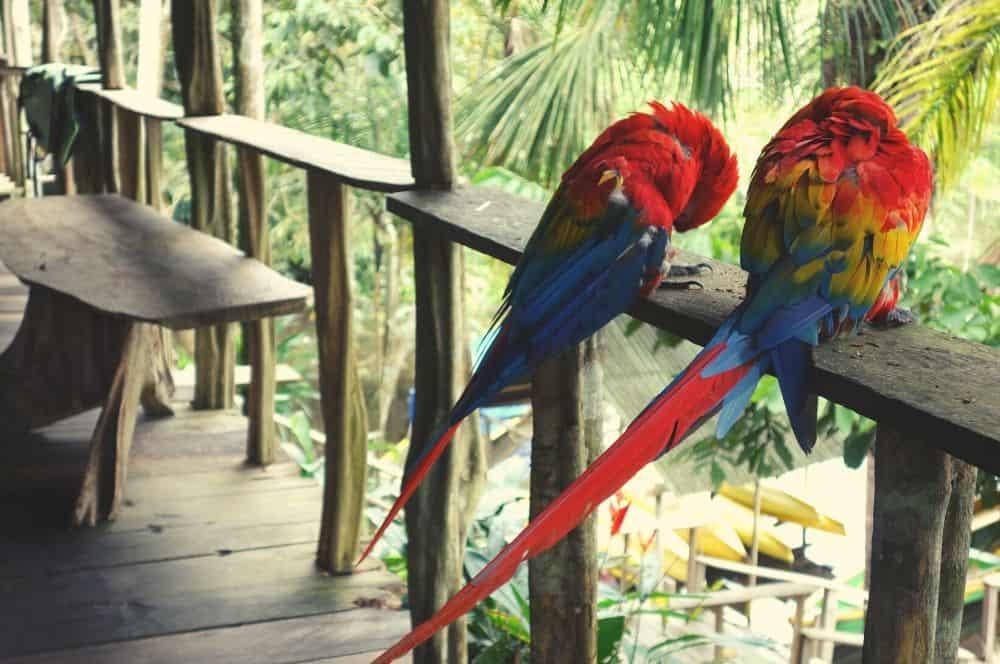 Parrot Leticia
