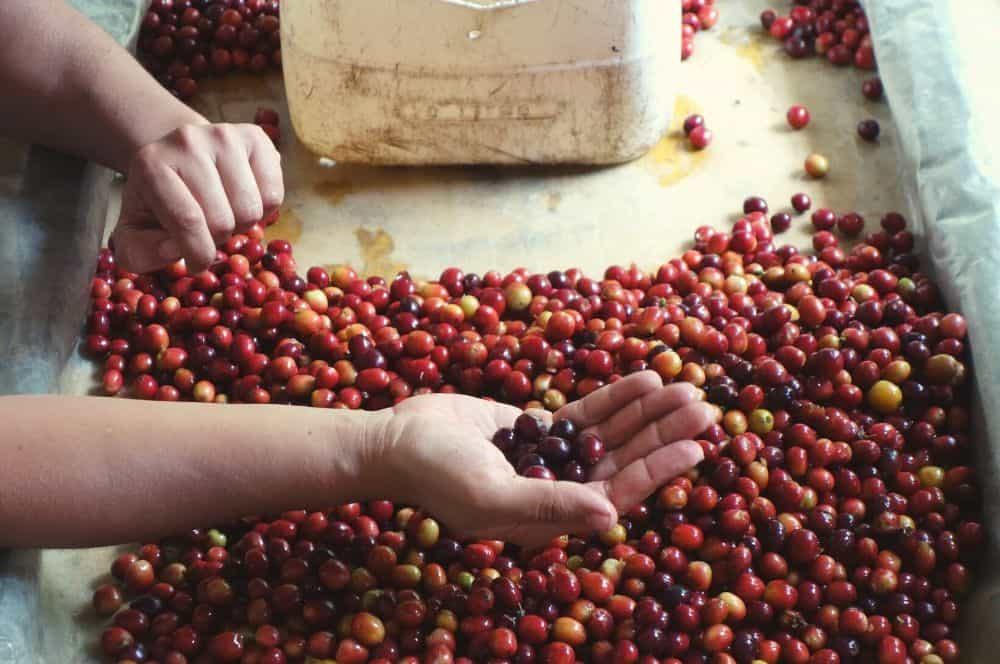 Pijao coffee beans
