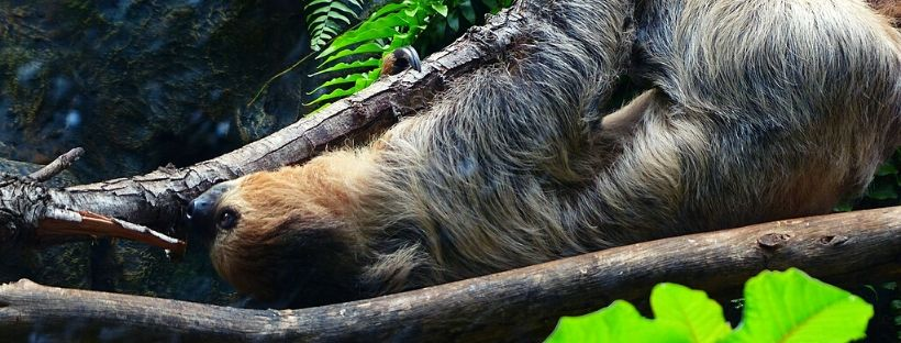 Sloth Isla Fuerte